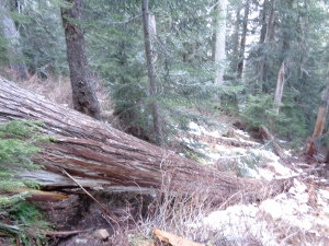 Large downed tree across trail