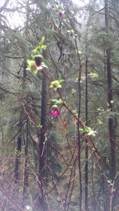 Salmonberry, I believe!